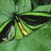Green Birdwing